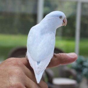 blue parrotlet