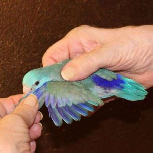 Blue Male Parrotlet