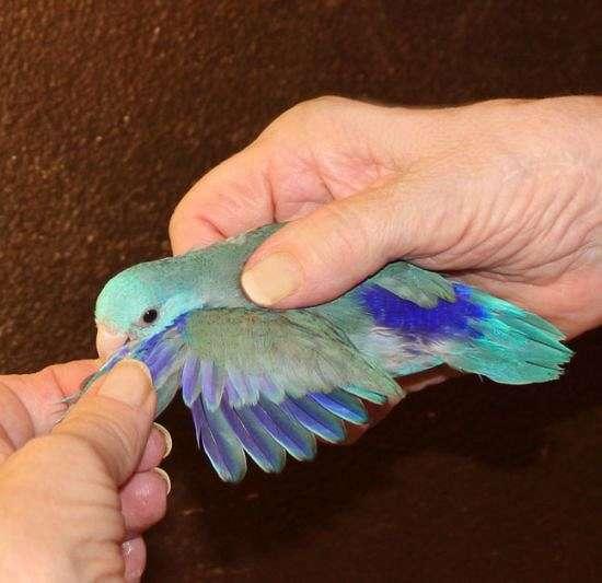 Blue Male Parrotlet