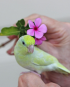 Dilute Turquoise Parrotlet 1