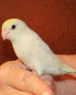 Dilute Turquoise Parrotlet
