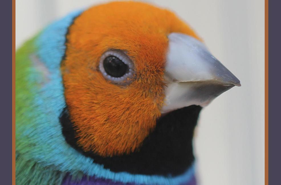 Greenback Gouldian Finch