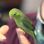green parrotlets