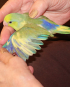 Male Green, Yellow & Blue Parrotlet