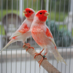 Red Mosaic Canaries