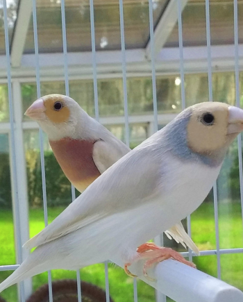 Silver Gouldian Finch