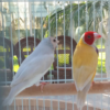 Silver Gouldian Finches