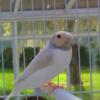 Silverback Gouldian Finch