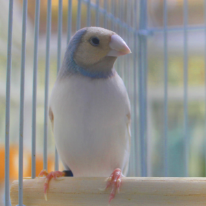 Silverback Gouldian Finches