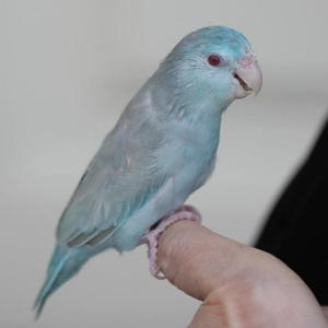 Single Female Blue Fallow Parrotlet