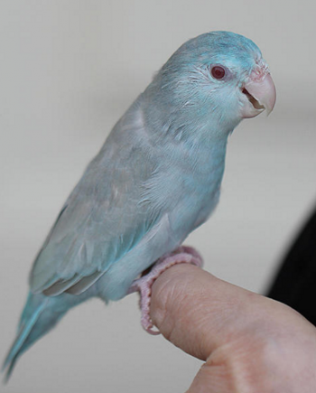 Single Female Blue Fallow Parrotlet