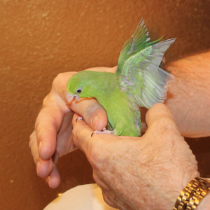 Single Female Green Parrotlet 4