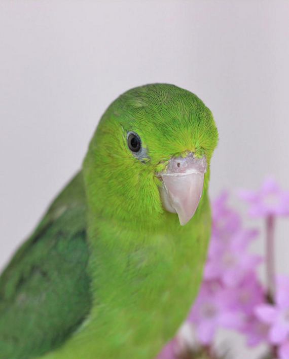 Single Female Green Parrotlet