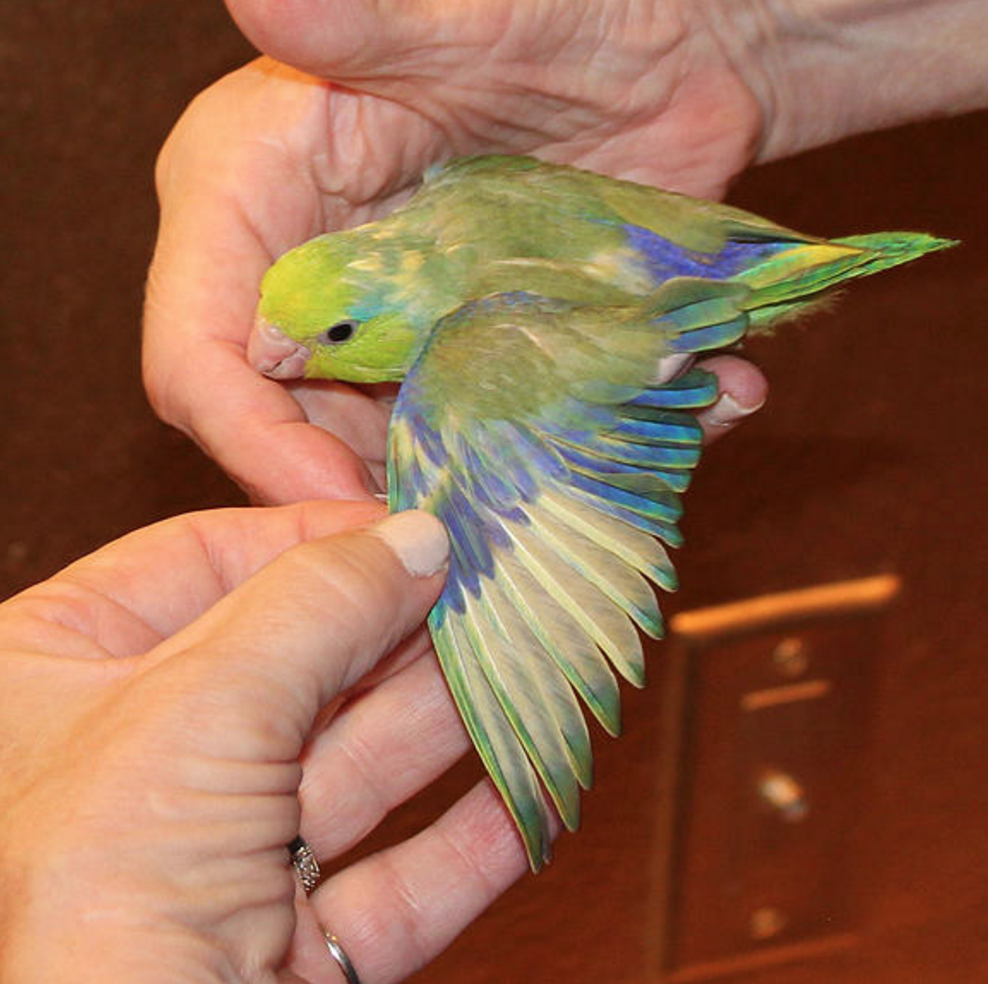 Single Female Green & Yellow Parrotlet