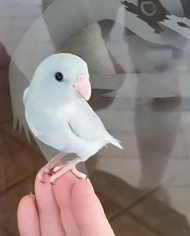 Single Female Light Blue Parrotlet 2
