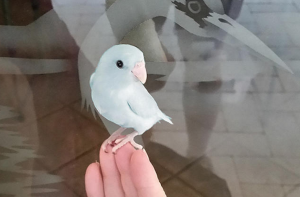 Single Female Light Blue Parrotlet 2