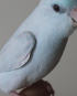 Single Female Light Blue Parrotlet