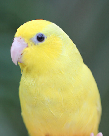 Single Female Yellow Parrotlet