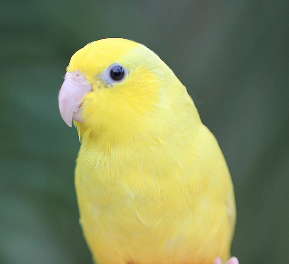 Single Female Yellow Parrotlet