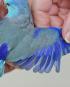Single Male Blue Parrotlet