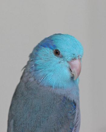 Single Male Blue Parrotlet