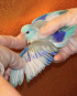 Single Male Blue & White Parrotlet