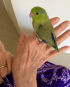 Single Male Green Parrotlet