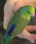 Single Male Green Parrotlet