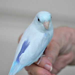 Single Male Light Blue Parrotlet