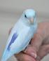Single Male Light Blue Parrotlet