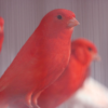 Two Red Canaries