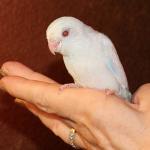 White Parrotlet