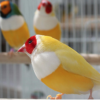 Yellowback Gouldian Finches