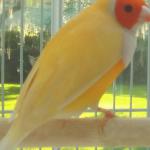 Yellowback Gouldian Finch