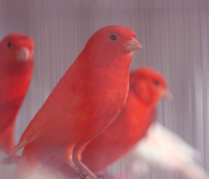 red mosaic canary