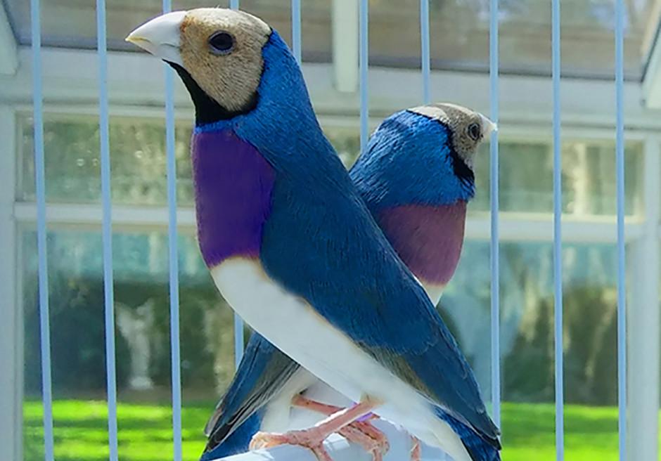 Blueback Gouldian Finch
