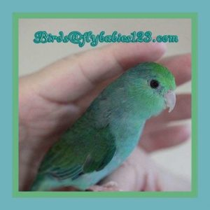 parrotlet-for-sale