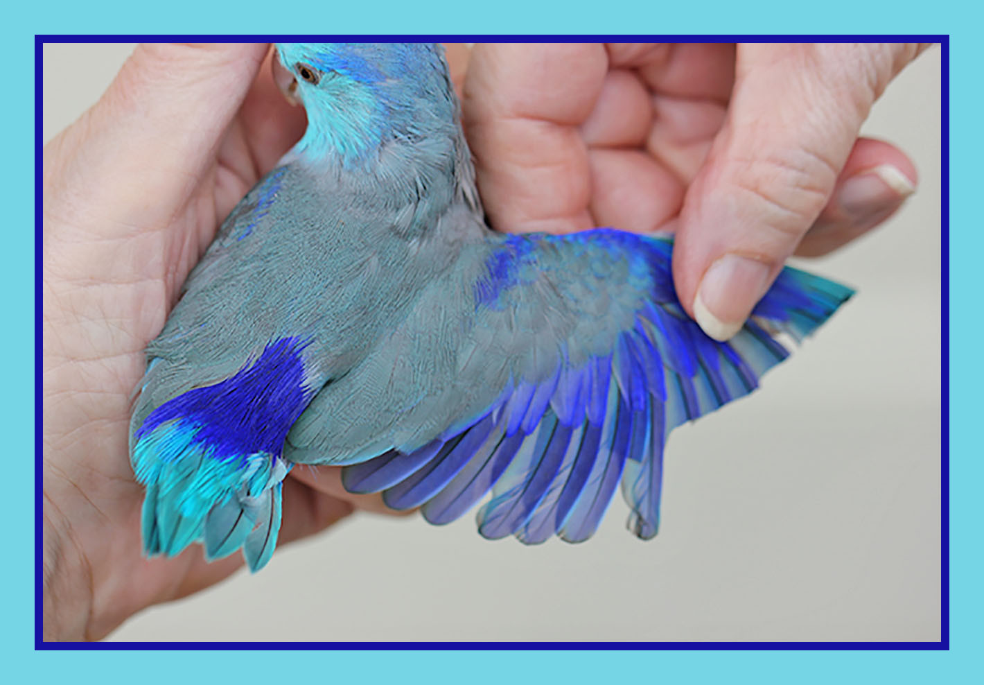 fly babies aviary parrotlet