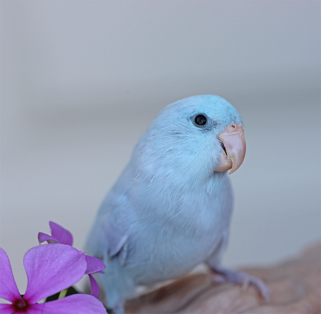 how to train a parrotlet