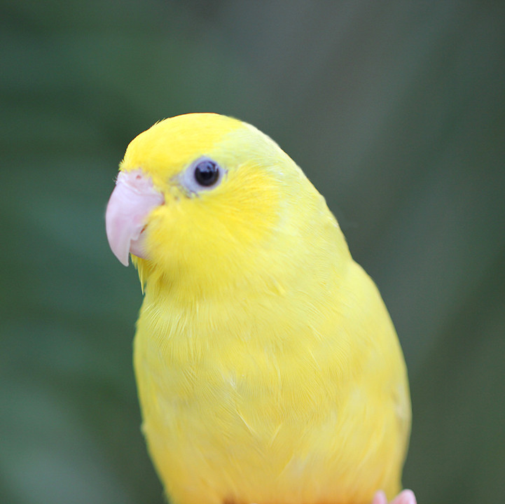 Single Male Yellow Parrotlet