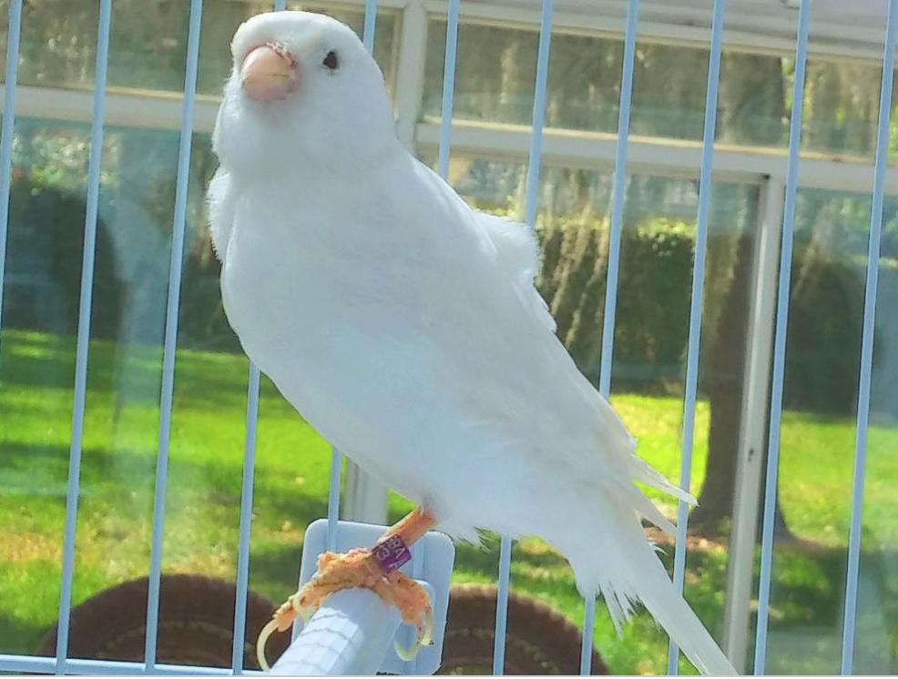 white canaries