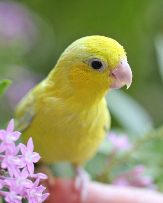 lutino parrotlet