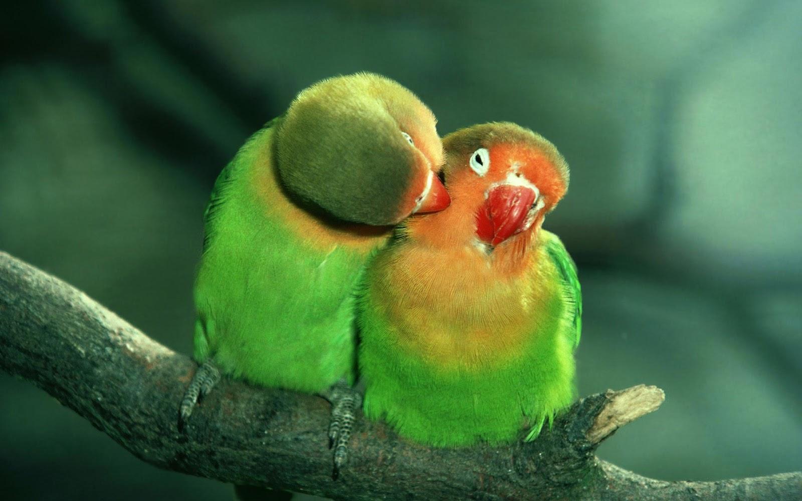 love birds coming soon