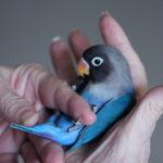 Blue Grey Love Bird