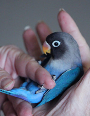 Blue Grey Love Bird