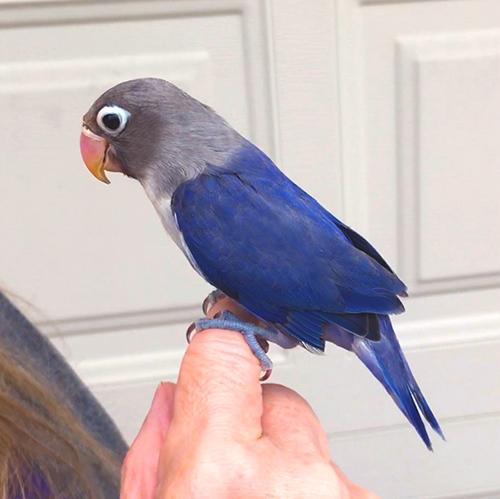 Citaten Love Bird : Love bird not as tame dark blue fly babies aviary