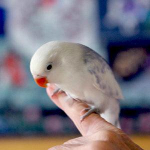 Blue-White-Love-Bird