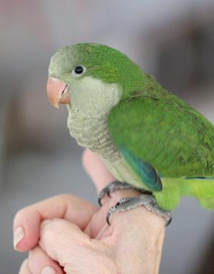 Green Quaker