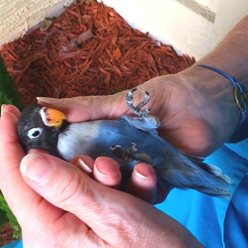 Love Bird Special