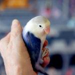Blue & White Love Bird